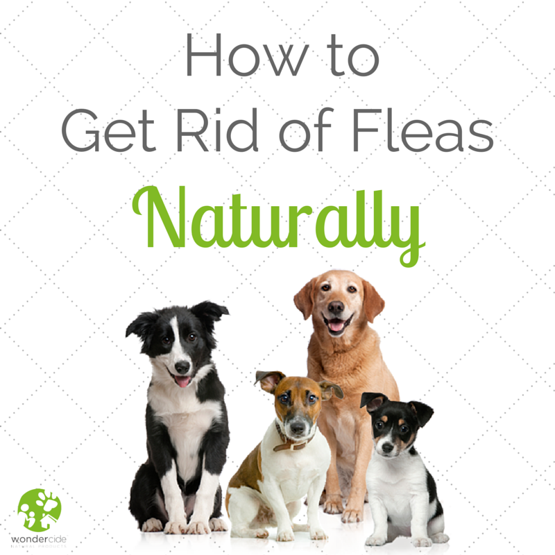 How To Get Rid Of Fleas Natural Flea Control