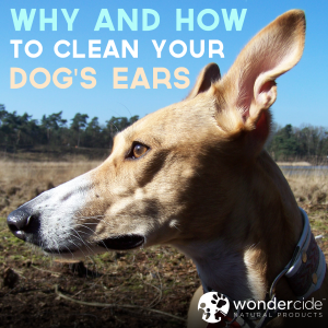 why and how to clean your dog's ears