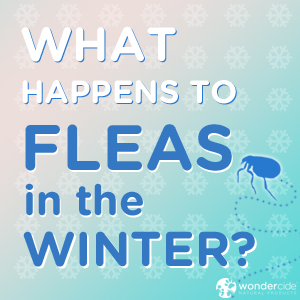 What happens to fleas in winter?