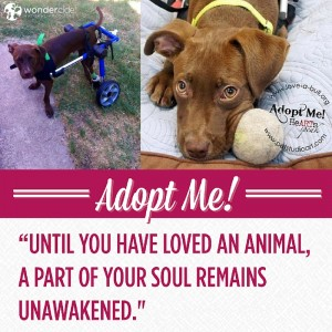 Adopt-A-Dog Month   Chariot   Love-A-Bull