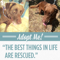 Adopt-A-Dog Month | Aggie | Heart of Texas Lab Rescue